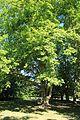 Platanus × hispanica 3654.jpg