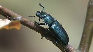 File:Platycerus caraboides - 2012-05-08.ogv
