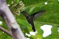 Plovercrest (Stephanoxis lalandi) (8077696704).jpg