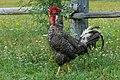 Plymouth Rock chicken (Gallus gallus domesticus).jpg