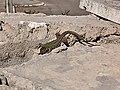 Podarcis siculus in Italy 02.jpg