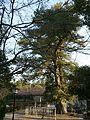 Podocarpus macrophyllus var. maki at Sekitoin.jpg