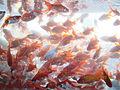 Poisson rouge.jpg