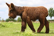 A tall donkey with very shaggy coat