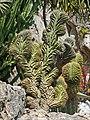 Polaskia chichipe (Jardin exotique, Monaco) (32681260987).jpg