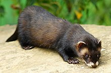 Polecat wildlife centre surrey.jpg