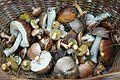 Polish mushrooms (grzybobranie) Puszcza Notecka.JPG
