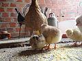 Pollitos nacidos en marzo 09.JPG