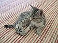 Polydactl-kitten.jpg