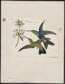 Polytmus columbicus - 1820-1860 - Print - Iconographia Zoologica - Special Collections University of Amsterdam - UBA01 IZ19100157.tif