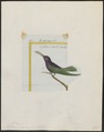 Polytmus jugularis - 1700-1880 - Print - Iconographia Zoologica - Special Collections University of Amsterdam - UBA01 IZ19100137.tif
