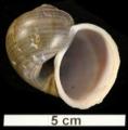 Pomacea lineata shell.png