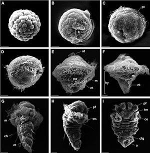 Trochophore - Bright-field microscope image of trochophore of annelid Pomatoceros lamarckii (family Serpulidae)