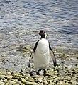 Posing King Penguin Falkland Islands.jpg