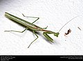 Praying mantis (Mantidae) (29470008094).jpg