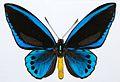 Priam's Blue Birdwing (Ornithoptera priamus urvillianus) male (8361988622).jpg