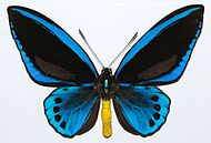 Priam's Blue Birdwing (Ornithoptera priamus urvillianus) male (8361988622).jpg