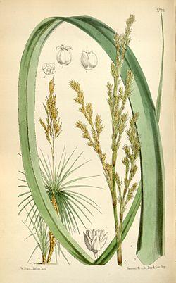 Prionium serratum02.jpg