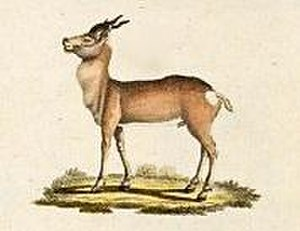 Procapra - Mongolian gazelle Procapra gutturosa