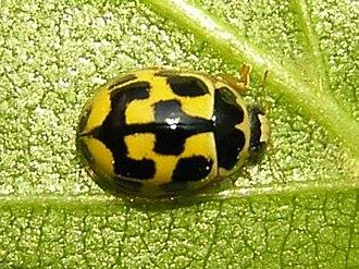Propylea - Propylea quatuordecimpunctata