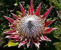 Protea cynaroides 6.jpg