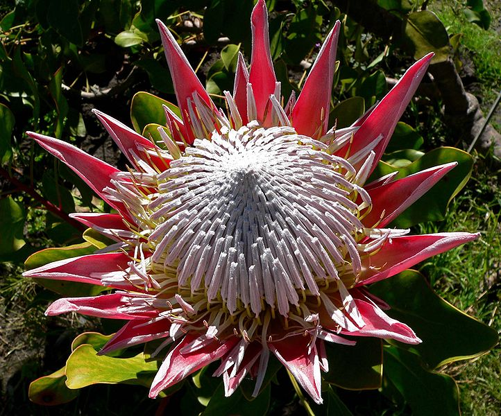 File:Protea cynaroides 6.jpg