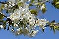 Prunus avium subsp. duracina Blüten 20150423 02.JPG