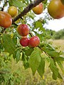Prunus cerasifera 148059589.jpg