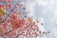 Prunus lannesiana cv. Kawazu-zakura 03.jpg