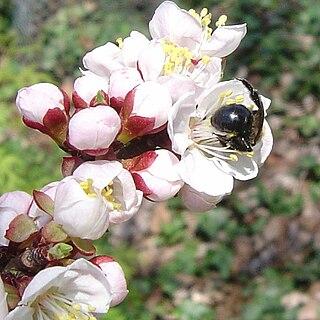 <i>Prunus mandshurica</i> species of apricot tree