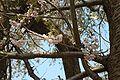 Prunus serrulata 2005 spring 014.jpg
