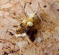 Pseudargyrotoza conwagana - Flickr - gailhampshire (1).jpg