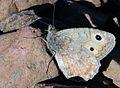 Pseudochazara beroe - Anatolian Mountain Grayling butterfly.jpg