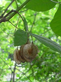 Ptelea trifoliata 20050606 635 part