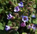 Pulmonaria officinalis 1pl.jpg