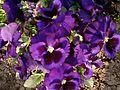 Purple flower in park.jpg