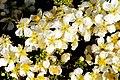 Purshia mexicana – cliffrose (34303539591).jpg
