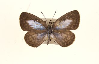 Acytolepis puspa - Female from Malaya