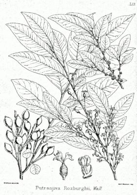 Putranjiva roxburghii, Illustration