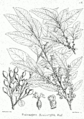 Putranjiva roxburghii Bra53.png