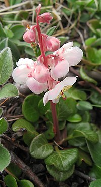 P. grandiflora, islandspyrola