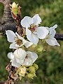 Pyrus pyrifolia (Shinko) inflorescence 2.jpg