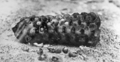 Queensland State Archives 1018 Bailer Shell Spawn Young Bailers Hatching Great Barrier Reef c 1931.png