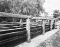 Queensland State Archives 1883 Beef cattle pastures and stock yards December 1955.png