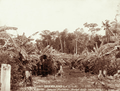 Queensland State Archives 2397 A Smiths banana plantation near Palmwoods Blackall Range c 1899.png
