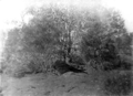 Queensland State Archives 3166 Deceased mare c 1910.png