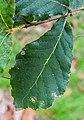 Quercus crassifolia in Hackfalls Arboretum (7).jpg