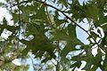 Quercus laevis (23554119293).jpg
