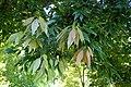 Quercus myrsinifolia kz3.jpg