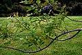 Quercus palustris in Auckland Botanic Gardens 02.jpg